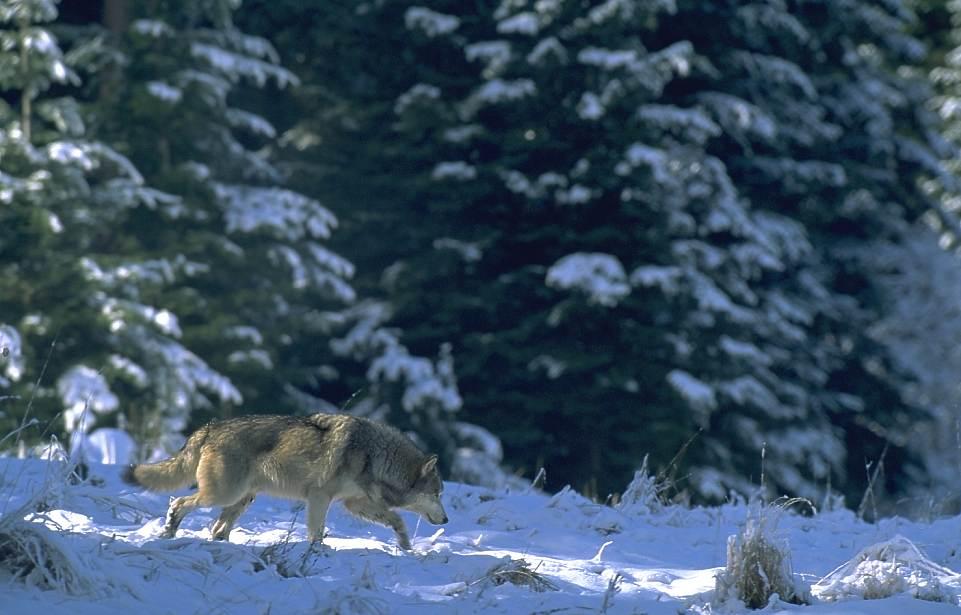 Vargar foljer romson till ku